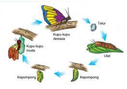 daur-kupu